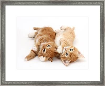 Ginger Kittens Framed Print by Mark Taylor