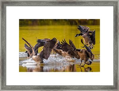 Golden Geese Framed Print by Brian Stevens