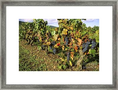 Grapes Growing On Vine Framed Print by Bernard Jaubert