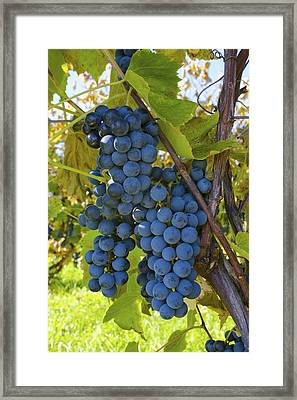 Grapes On A Vine Sutton Junction Quebec Framed Print by David Chapman