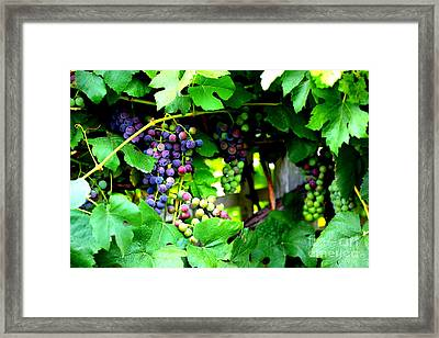 Grapes On The Vine Framed Print by Carol Groenen