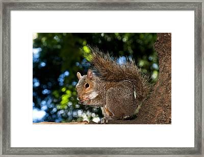 Gray Squirrel Framed Print by Fabrizio Troiani