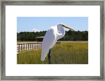 Great White Egret In The Marsh Framed Print by Paulette Thomas