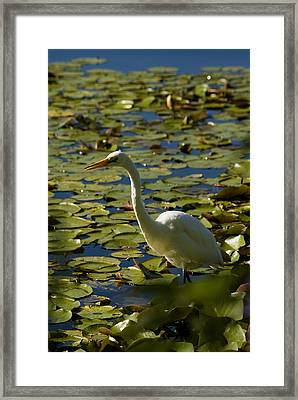 Great White Egret Perched On A Rock Framed Print by Todd Gipstein