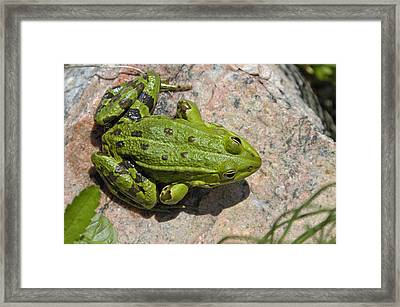 Green Frog Framed Print by Matthias Hauser