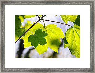 Green Leaves Framed Print by Carlos Caetano