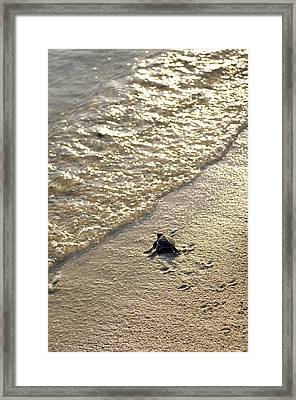 Green Turtle Hatchling Framed Print by Matthew Oldfield