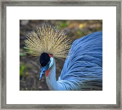Grey Crowned Crane Framed Print by Brian Stevens
