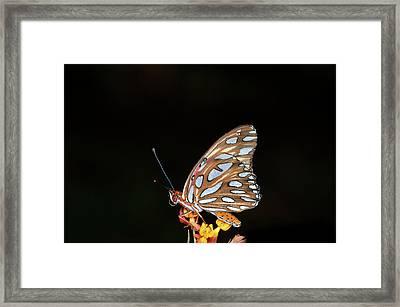 Gulf Fritillary Butterfly Framed Print by Jim McKinley