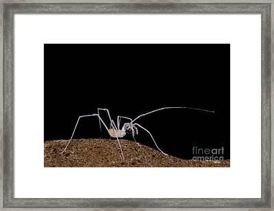 Harvestman Framed Print by Dante Fenolio