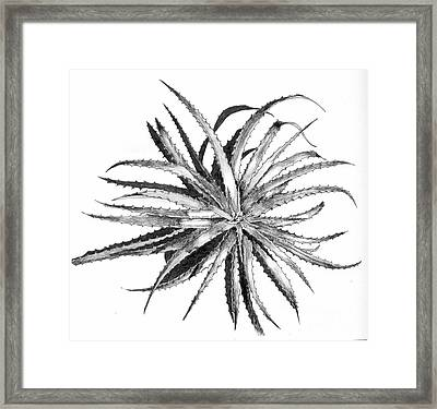 Hechtia Argentea Framed Print by Penrith Goff