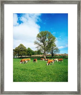 Hereford Bullocks Framed Print by The Irish Image Collection