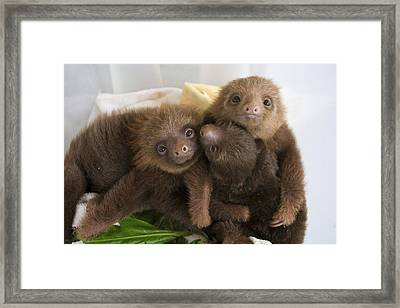 Hoffmanns Two-toed Sloth Choloepus Framed Print by Suzi Eszterhas