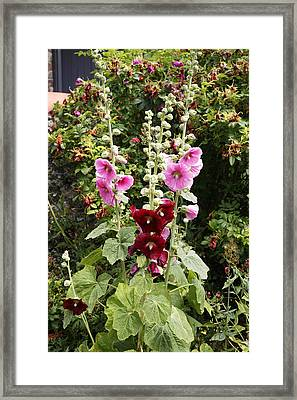 Hollyhock (alcea Rosea) Framed Print by Dr Keith Wheeler