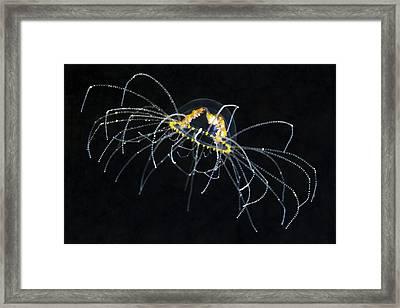 Hydrozoan Medusa Framed Print by Alexander Semenov