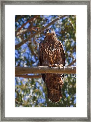 Immature Bald Eagle Framed Print by Beth Sargent