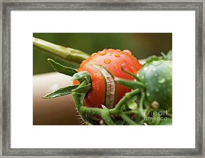 Immature Tomatoes Framed Print by Sami Sarkis