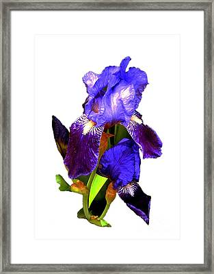 Iris On White Framed Print by Dale   Ford