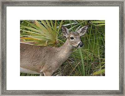Key Deer Florida Framed Print by Valia Bradshaw