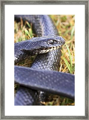 Large Whipsnake (coluber Jugularis) Framed Print by Photostock-israel