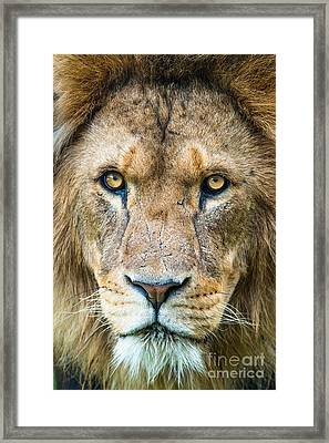 Lion Framed Print by Andrew  Michael