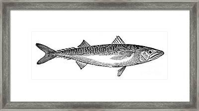 Mackerel Framed Print by Granger