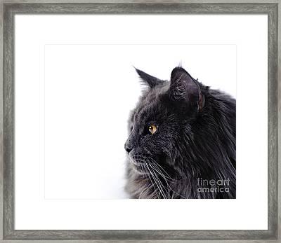 Maine Coon Cat Framed Print by Waldek Dabrowski