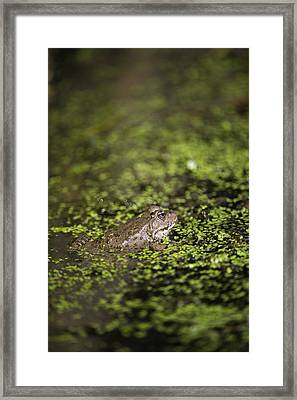 Marsh Frog Framed Print by Louise Murray