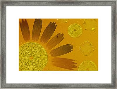 Microscopic Arrangement Framed Print by Darlyne A. Murawski
