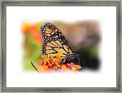 Monarch And Milkweed Framed Print by Heidi Smith