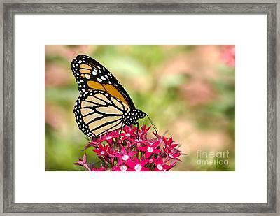 Monarch Butterfly Framed Print by Betty LaRue