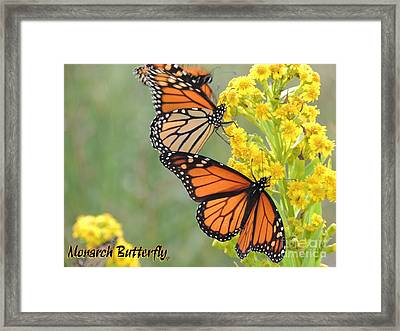 Monarch Butterfly Framed Print by Laurence Oliver