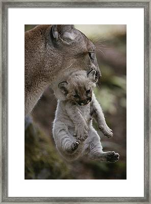 Mother Mountain Lion, Felis Concolor Framed Print by Jim And Jamie Dutcher