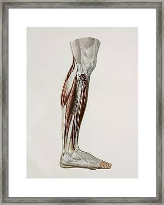 Nerves Of The Lower Leg, 1844 Artwork Framed Print by