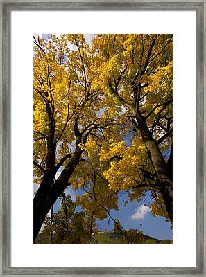 Norway Maples (acer Platanoides) Framed Print by Bob Gibbons