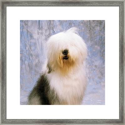 Old English Sheepdog Framed Print by The Irish Image Collection