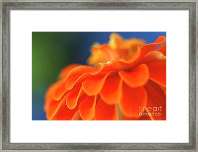 Orange Common Zinnia Framed Print by Sami Sarkis