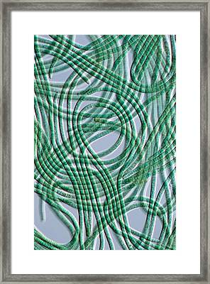 Oscillatoria Cyanobacteria, Dic Image Framed Print by Sinclair Stammers