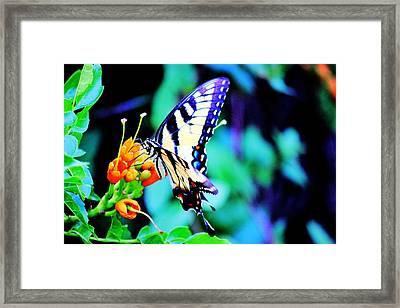 Pale Swallowtail Butterfly Framed Print by Barry Jones