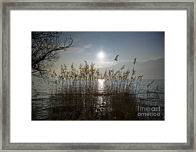 Pampas Grass Framed Print by Mats Silvan