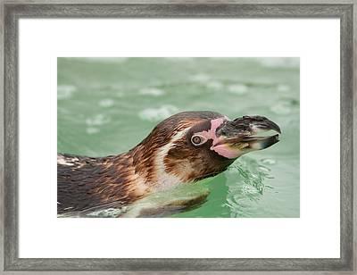 Penguin Framed Print by Tom Gowanlock