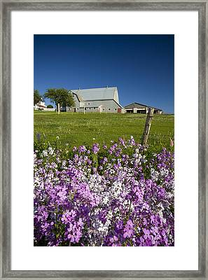 Phlox Flowers Growing Along Roadside Framed Print by John Sylvester