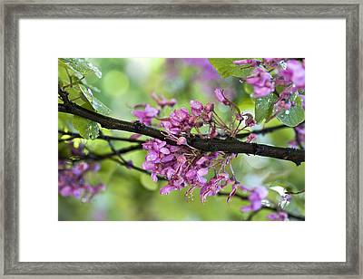 Pink Flowers Of The Love Tree Framed Print by Frank Tschakert