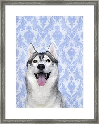 Portrait Of Siberian Husky Dog Framed Print by Brad Wilson