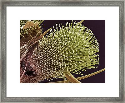 Pulvilli On A Fly's Foot, Sem Framed Print by Steve Gschmeissner
