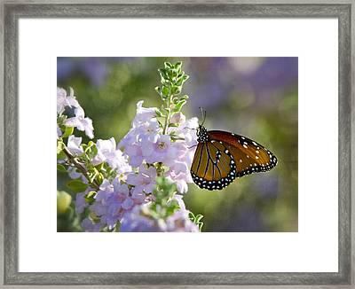 Queen Butterfly  Framed Print by Saija  Lehtonen