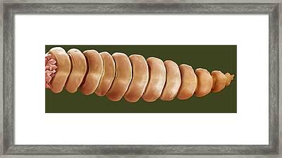 Rattlesnake Rattle, Sem Framed Print by Steve Gschmeissner