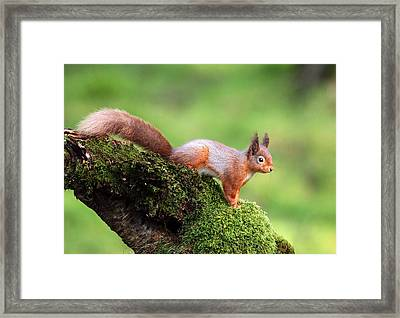 Red Squirrel Framed Print by Grant Glendinning
