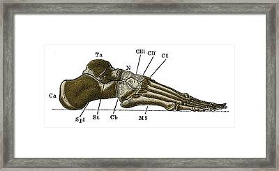 Right Foot Framed Print by Science Source