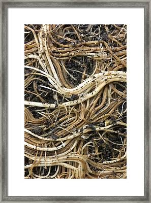 Roots Of A Pot-bound Buddleja Plant Framed Print by Dr Jeremy Burgess